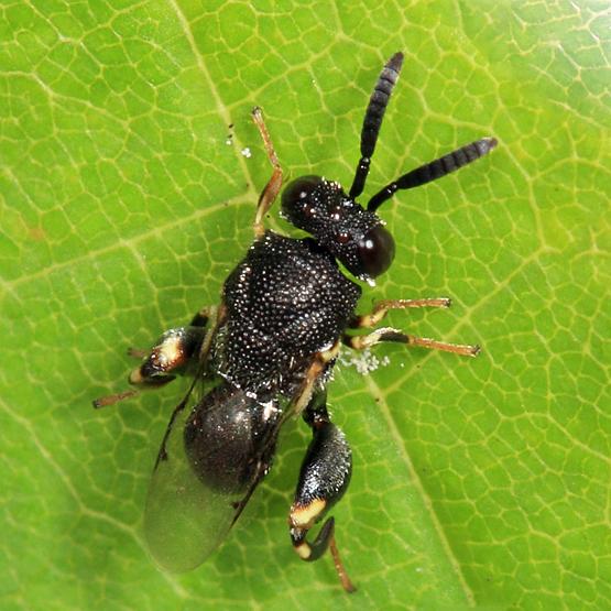 Chalcid wasp - Brachymeria