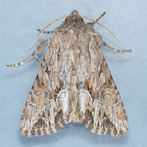 Moth for ID - Apamea antennata
