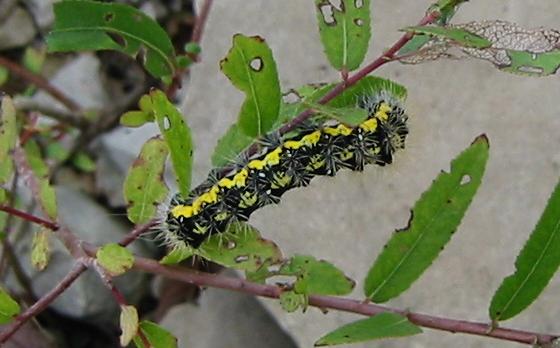 Smeared Dagger Moth - Acronicta oblinita