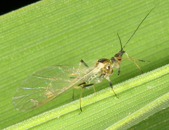 English Grain Aphid - Sitobion avenae