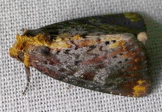 moth - Achatodes zeae