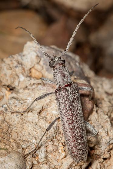 Long-horned Beetle - Aneflus prolixus
