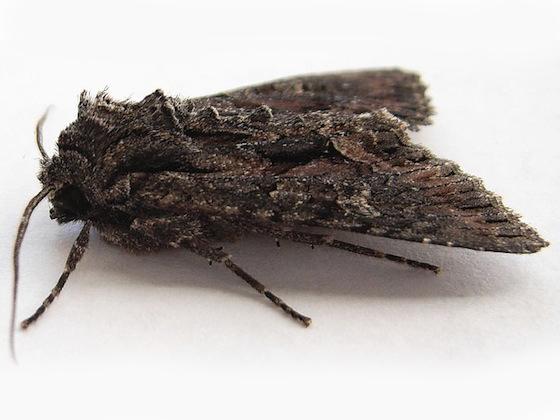 Fishia discors - male
