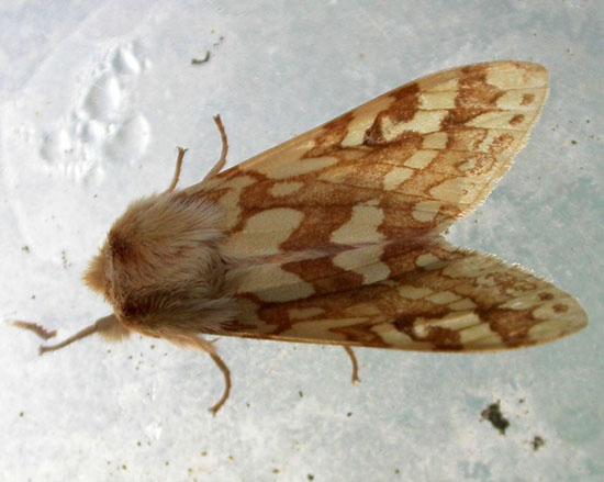 Tiger Moths Halisidota maculata spotted Tussock_Moth - Lophocampa maculata