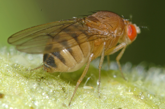 unknown fly - Drosophila immigrans - female