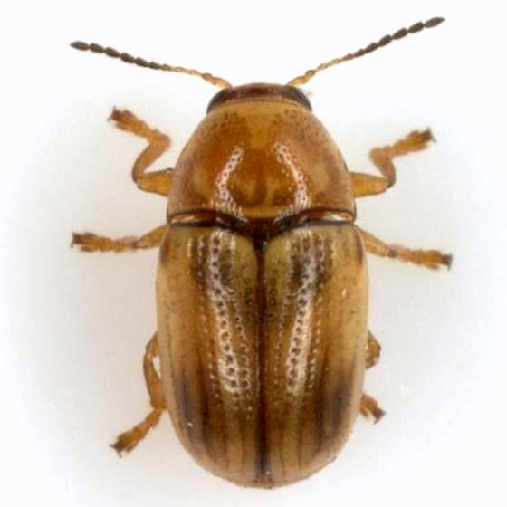Cryptocephalus pumilus Haldeman - Cryptocephalus pumilus