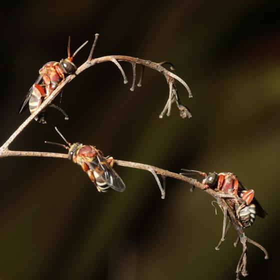 roosting bees - Triepeolus rufithorax