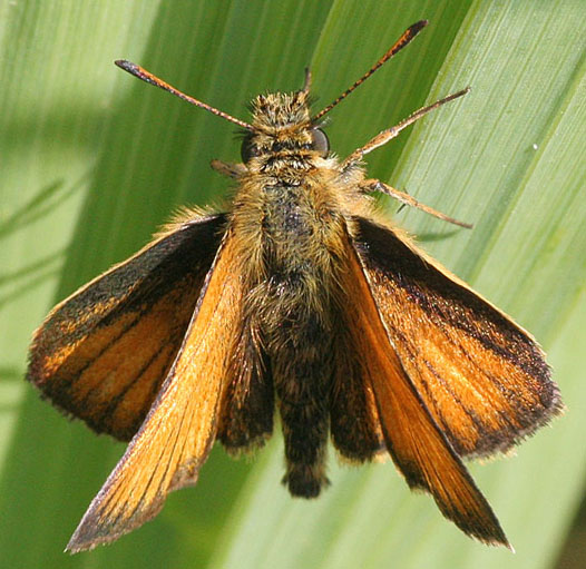 European Skipper - MN July record - Thymelicus lineola