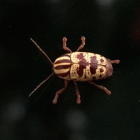 Striped, Spotted Beetle - Cryptocephalus leucomelas