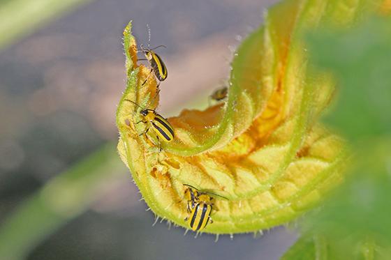 Acalymma vittatum - Striped Cucumber Beetle - Acalymma vittatum - male - female