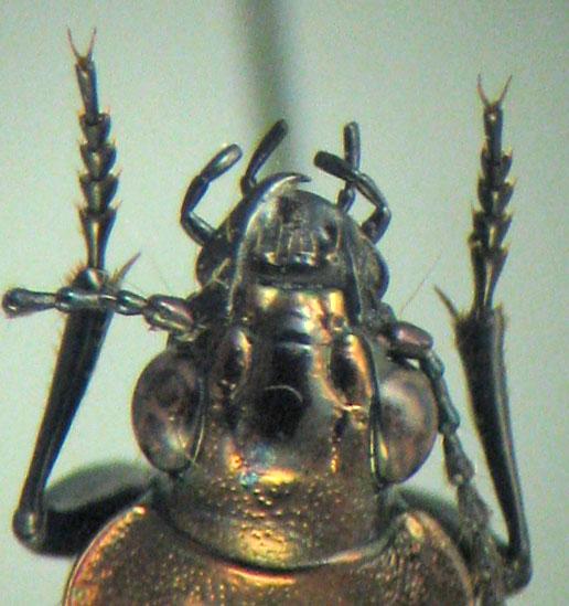 Blethisa julii LeConte - Blethisa julii - male