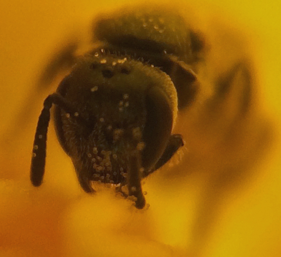 Bee in California poppy - Lasioglossum imitatum