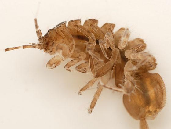 water sowbug - Caecidotea - male