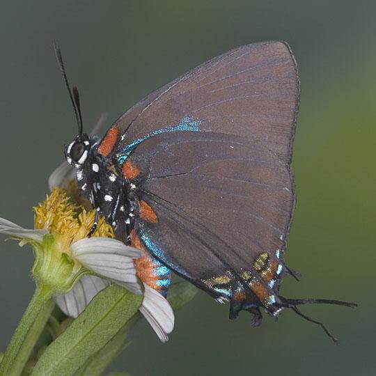 Great Purple Hairstreak - Atlides halesus - male