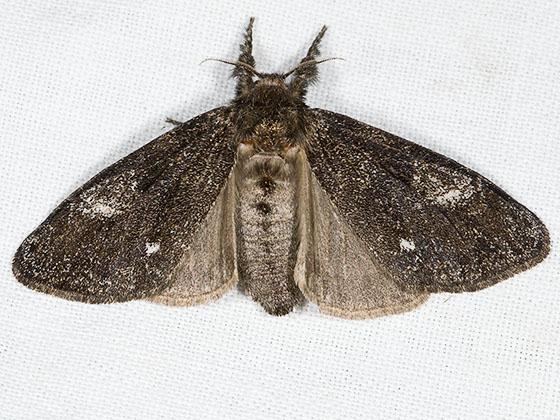 Dasychira grisefacta - female