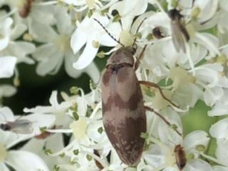 Brown beetle on cowparsnip - Araeopidius monachus