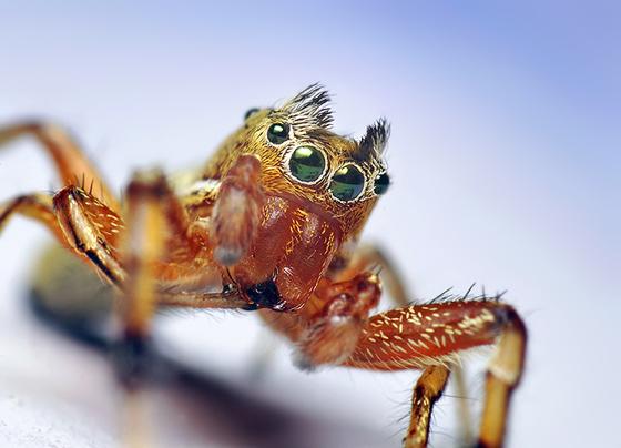 Tutelina Jumping Spider - Tutelina elegans - male