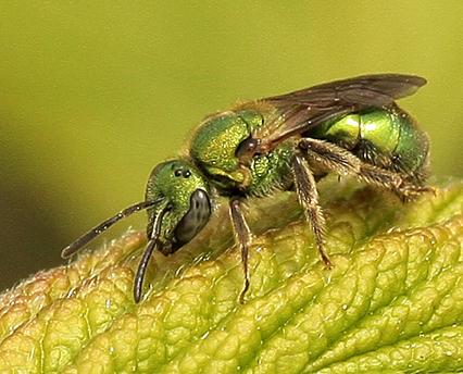 Which Bee Please - Augochlorella aurata - female