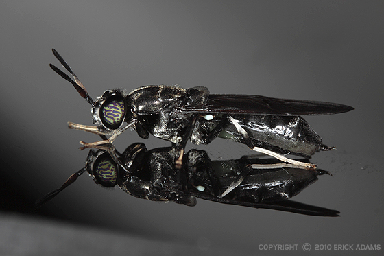 Black Soldier Fly - Hermetia illucens - female