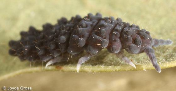 big springtail - Neanura magna