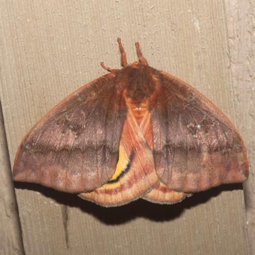 Io Moth - Hodges #7746 - Automeris io