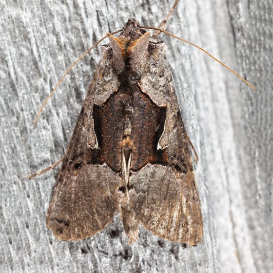 Large Looper Moth - Autographa ampla