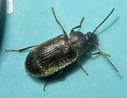 Alleculinae - Hymenorus