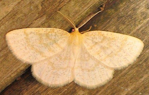 Yellow-dusted Cream - Cabera erythemaria - male