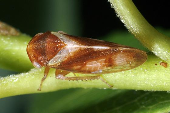 Oncopsis - Oncopsis minor - female