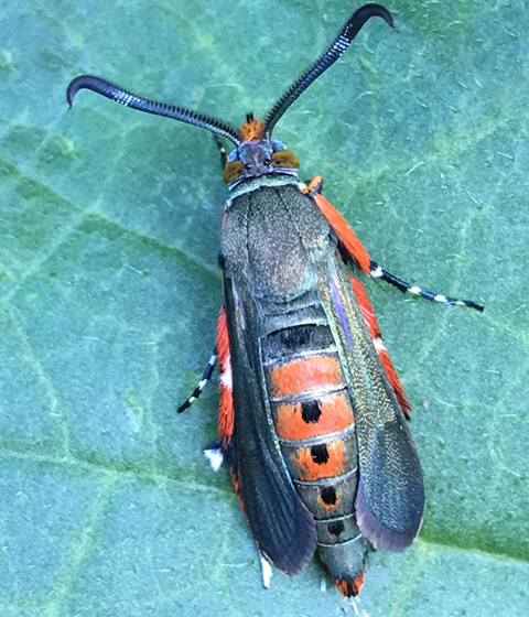 orange & black bug; black & white striped legs; thick, comb-like antennae - Melittia cucurbitae