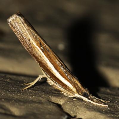 Crambid Snout Moth - Hodges #5433 - Fissicrambus haytiellus