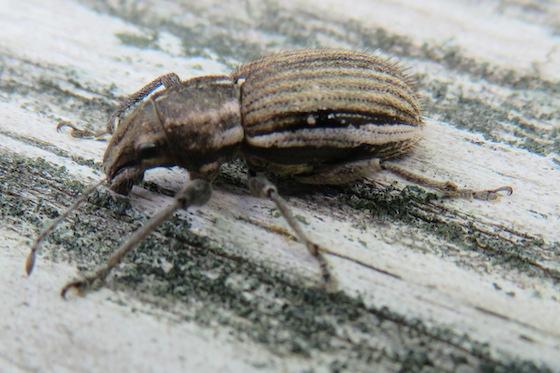 Beetle -- Naupactus? - Naupactus leucoloma