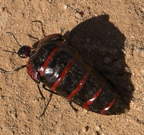 Black Red Striped Beetle Megetra Cancellata