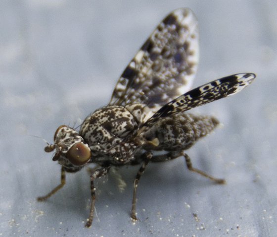 Peacock fly? - Callopistromyia annulipes