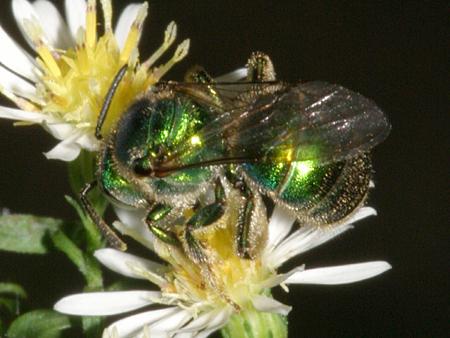 Halictid Bee - Augochloropsis metallica - female