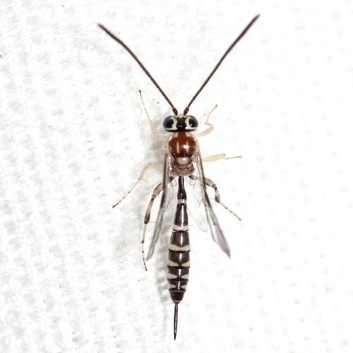 Ichneumon Wasp - Brachycyrtus pretiosus - female