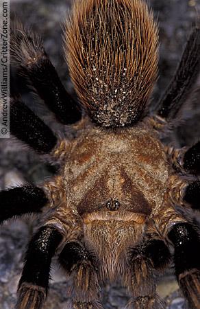 Tucson tarantula - Aphonopelma chalcodes
