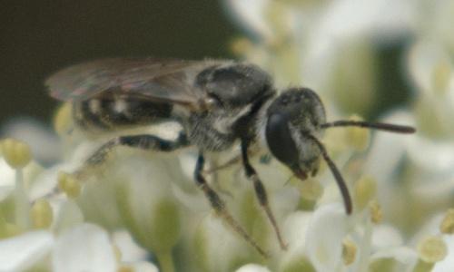 Fly on Lepidium draba - Lasioglossum