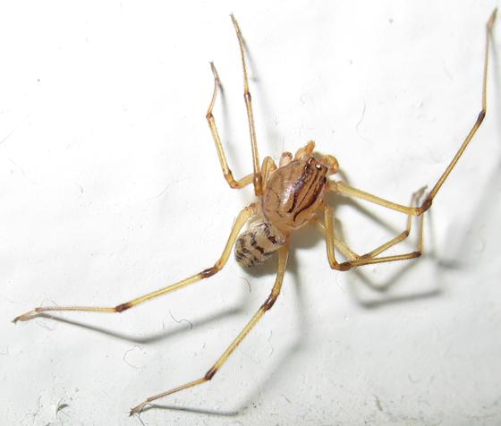 Spitting Spider - Scytodes lugubris - male