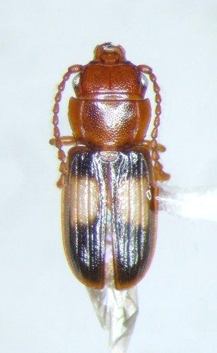 Laemophloeus - Laemophloeus fasciatus
