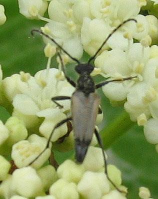 beige-black flower longhorn - Brachyleptura circumdata