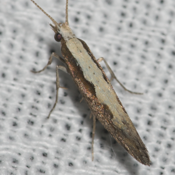 Diamondback Moth - Hodges#2366 - Plutella xylostella