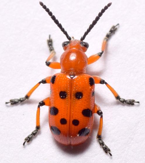 Crioceris duodecimpunctata (Twelve-spotted Asparagus Beetle) - Crioceris duodecimpunctata