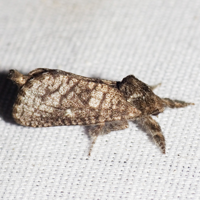 Carpenter Moth - Hodges #2671 - Givira francesca