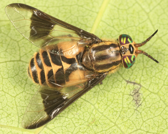 deer fly - Chrysops callidus - female