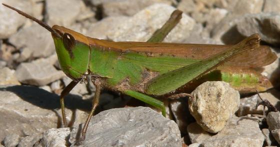Clip-wing Grasshopper - Metaleptea brevicornis - female