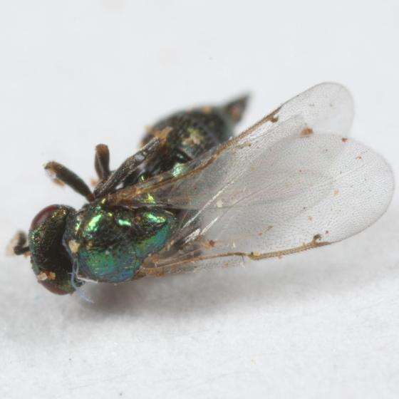 Sickly Ormyrus(?) from Acraspis pezomachoides gall - Ormyrus - female