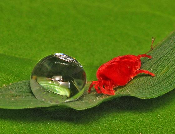 Velvet Mite and water drop - Trombidium
