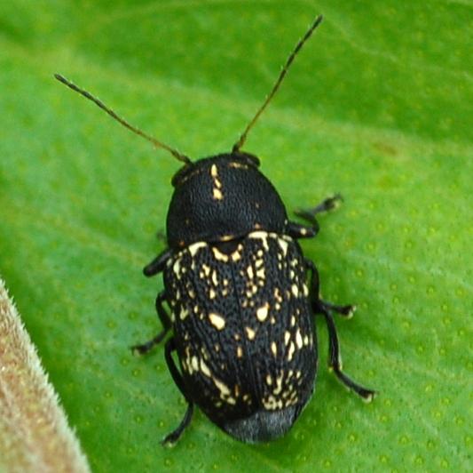 Is this a Pachybrachis vestigialis? - Pachybrachis atomarius