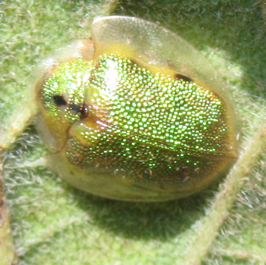 Geiger Tortoise Beetle? - Physonota calochroma